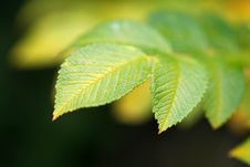 Free Green Vivid Leaf With Copyspace Stock Images - 3517894