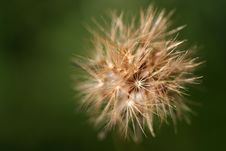 Free Small Dandelion Flower In Green Background Royalty Free Stock Photography - 3518027