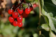 Free Red Berries Stock Image - 3519511