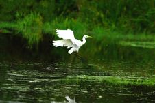 Free Egret Landing Royalty Free Stock Photos - 3519558