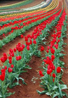 Free Tulips In Spring Stock Image - 3519631