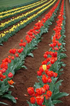 Free Tulips In Spring Stock Images - 3519804