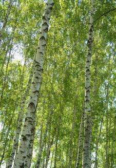 Free Birches Royalty Free Stock Photos - 3519838