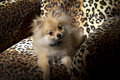 Free Pomeranian Puppy Dog Stock Image - 35108151