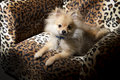 Free Pomeranian Puppy Dog Stock Images - 35108384
