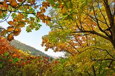 Free The Antumn Maple Leaves Of Zu Mountain Royalty Free Stock Images - 35107289