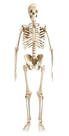 Free Human Skeleton Royalty Free Stock Photography - 35107727
