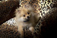 Pomeranian Puppy Dog Stock Image