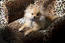 Free Pomeranian Puppy Dog Stock Images - 35108384