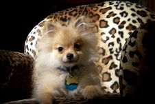 Free Pomeranian Puppy Dog Stock Images - 35108394