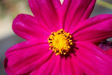 Free Mexican Aster &x28;Cosmos&x29; Bright Pink Flower &x28;macro&x29; Royalty Free Stock Images - 35111819
