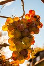 Free Golden Grape Stock Photography - 35120332