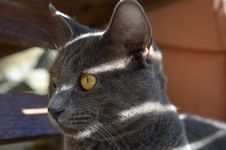 Free Young Grey Cat Royalty Free Stock Photography - 35120147