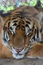 Free Sleeping Tiger Royalty Free Stock Images - 35131689