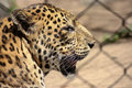 Free Leopard In Profile Royalty Free Stock Images - 35131879