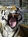 Free Tiger Growl Stock Photography - 35137202