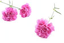 Free Pink Carnations Stock Image - 35130011