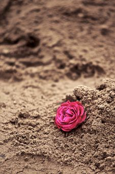 Free Rose In The Sand Stock Image - 35131121
