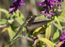 Free Hummingbird Royalty Free Stock Photography - 35131227
