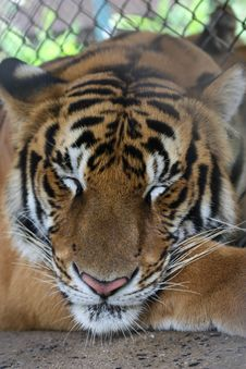 Free Sleeping Tiger Royalty Free Stock Images - 35131689