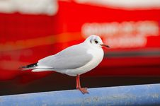 Free Black-headed Gull, Winter Plumage Royalty Free Stock Photography - 35134257
