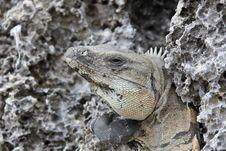 Free Portrait Of An Iguana Stock Photography - 35138332