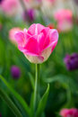 Free A Pink Tulip Stock Image - 35143731