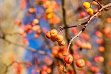 Free Berries And Branches Royalty Free Stock Photo - 35142405