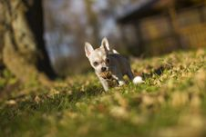 Free Little Chihuahua Dog Royalty Free Stock Photography - 35143037