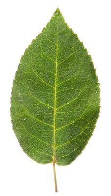 Free Single Leaf Of Rose Isolated On White Stock Photo - 35145260