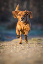 Free Dachshund Royalty Free Stock Images - 35150349