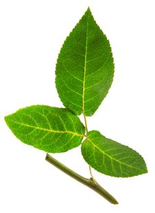 Rose Leaf With Stalk Stock Photos
