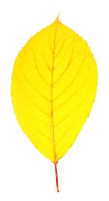Free Bright Yellow Autumn Leaf Stock Photos - 35150263
