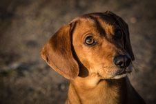 Free Dachshund Royalty Free Stock Images - 35150299