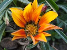 Free Gazania Royalty Free Stock Photos - 35154388