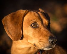Free Dachshund Royalty Free Stock Photos - 35157348