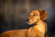 Free Dachshund Royalty Free Stock Photo - 35157615
