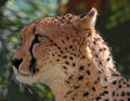 Free Cheetah Royalty Free Stock Photos - 35161638
