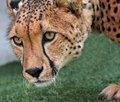 Free Cheetah Stock Photos - 35161643