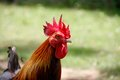 Free Red Crest Of Rooster Head Stock Images - 35166014