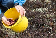 Free Picking Cranberries Royalty Free Stock Images - 35161409