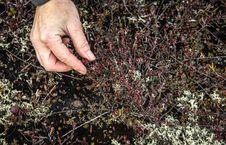 Free Picking Cranberries Royalty Free Stock Image - 35161816