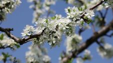 Free Plum Tree Spring Royalty Free Stock Photography - 35161897