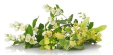Free Blossoming Branches Of A Jasmine And The Linden Stock Image - 35162411