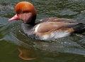 Free Duck Stock Photo - 35170910