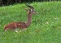 Free Gerenuk Stock Images - 35171144