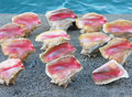 Free Conch Shells Royalty Free Stock Images - 35177699