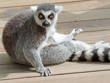 Free Lemur Royalty Free Stock Photography - 35170607