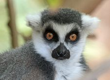 Free Lemur Royalty Free Stock Images - 35170619