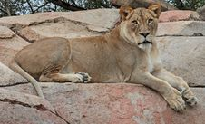 Free African Lion Royalty Free Stock Images - 35170709